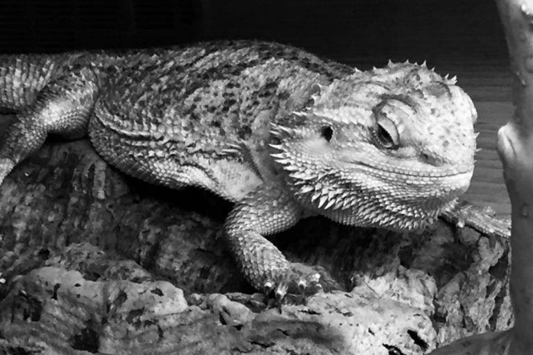 Black and white shot of a gecko indoors on log