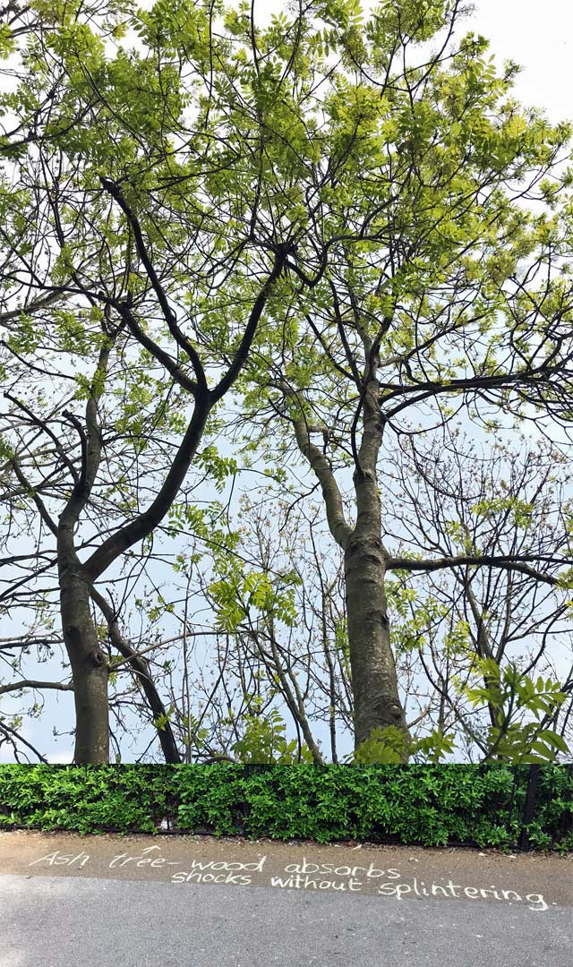 Chalk message under trees: Ash tree - wood absorbs shocks without splintering