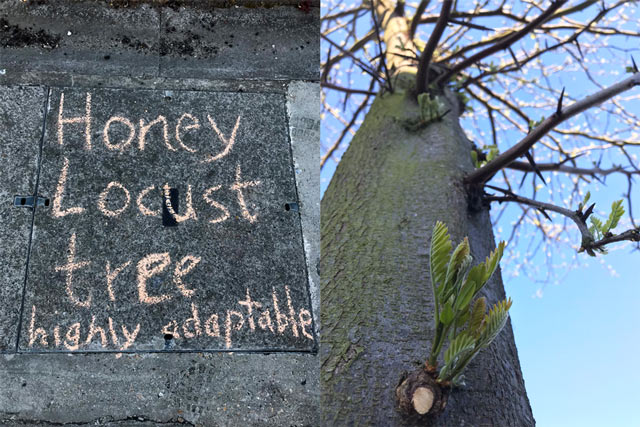 "Chalk on pavement next to tree: ""Honey locust tree: highly adaptable"""