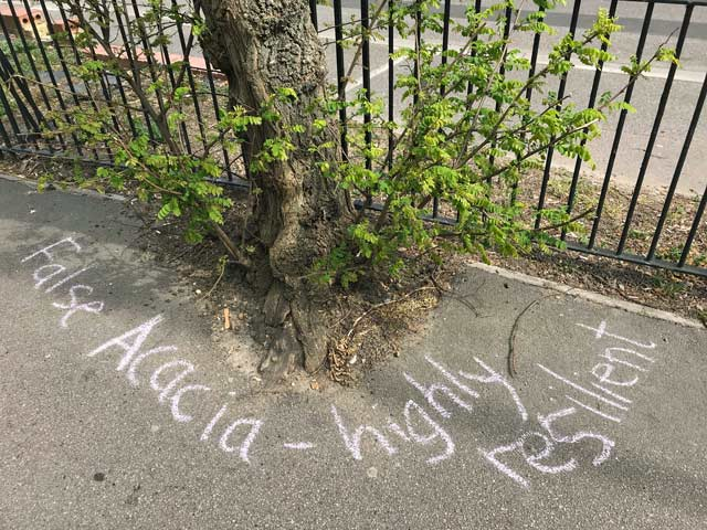 Chalk message under tree: False Acacia - highly resilient