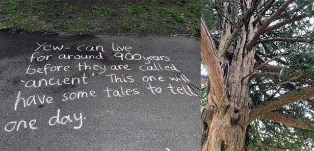 Chalk message on path by tree: Yew - can live for around 900 years before they are called 'ancient'. This one will have some tales to tell one day.
