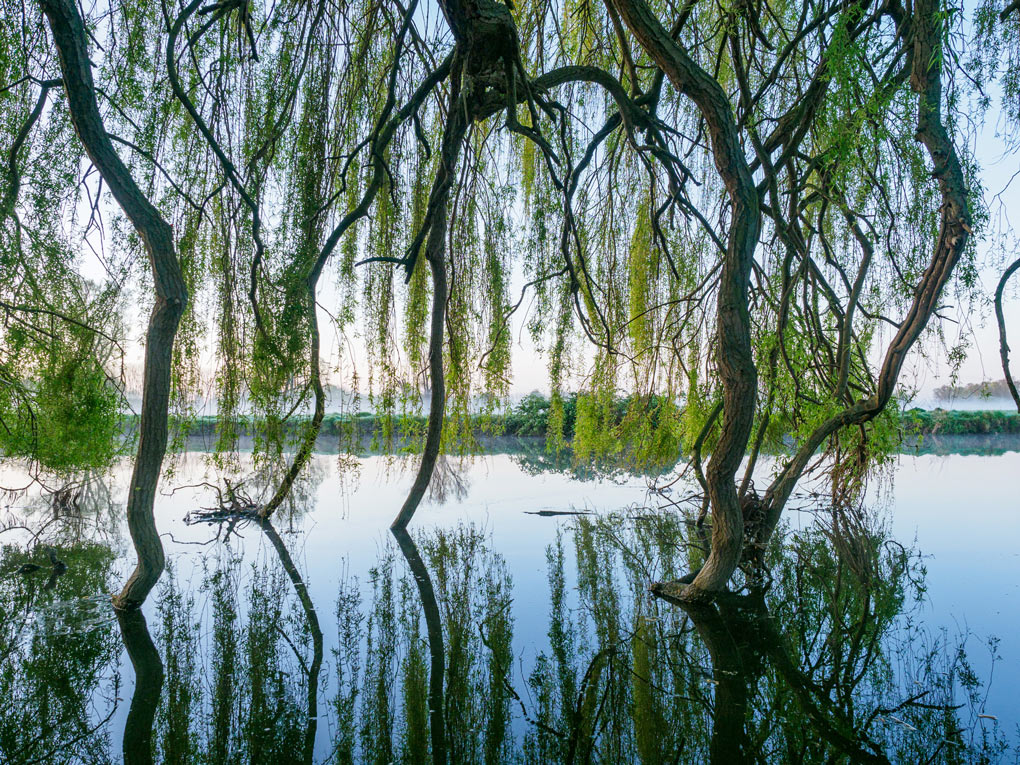 willow trees hanging down into river and reflected in the water